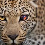ghepardo100